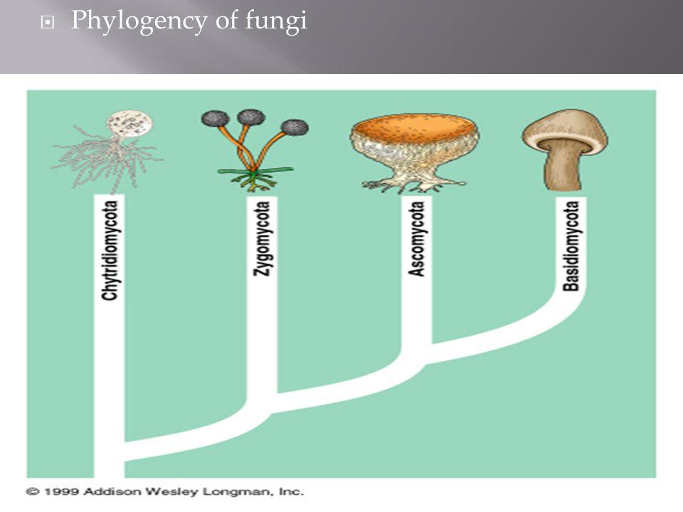  Phylogency of fungi