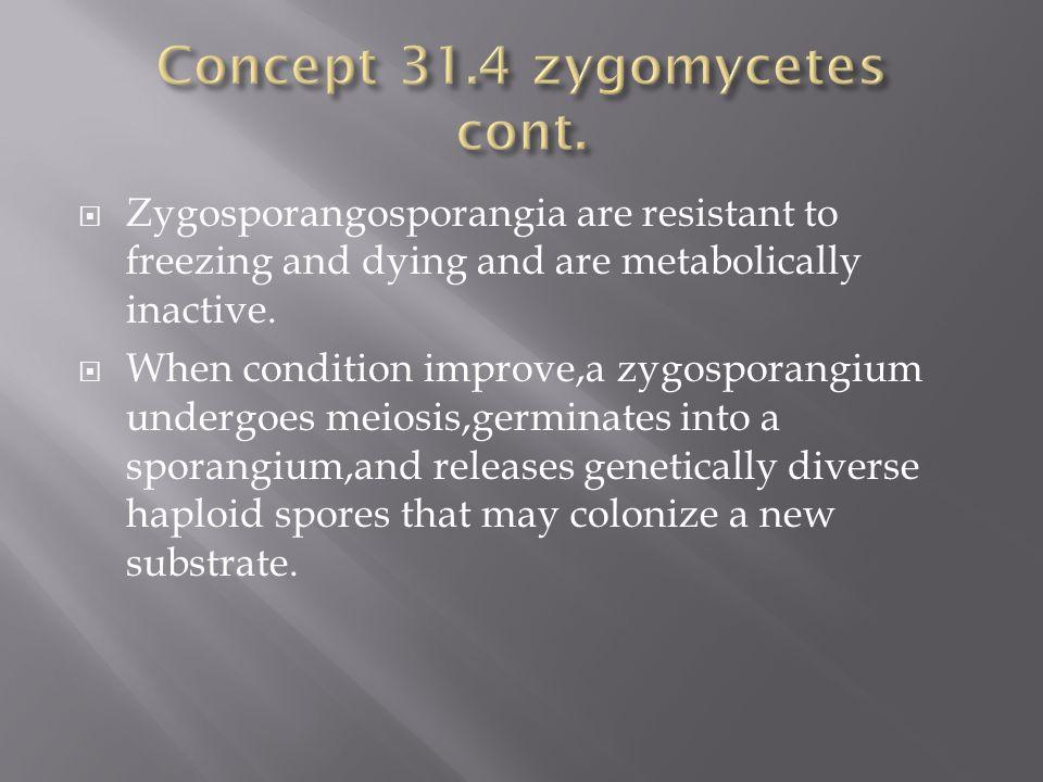  Zygosporangosporangia are resistant to freezing and dying and are metabolically inactive.  When condition improve,a zygosporangium undergoes meiosi