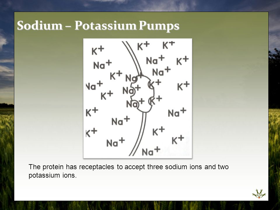 The protein has receptacles to accept three sodium ions and two potassium ions. Sodium – Potassium Pumps