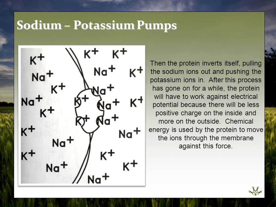 Then the protein inverts itself, pulling the sodium ions out and pushing the potassium ions in. After this process has gone on for a while, the protei