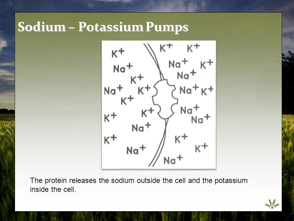 The protein releases the sodium outside the cell and the potassium inside the cell. Sodium – Potassium Pumps