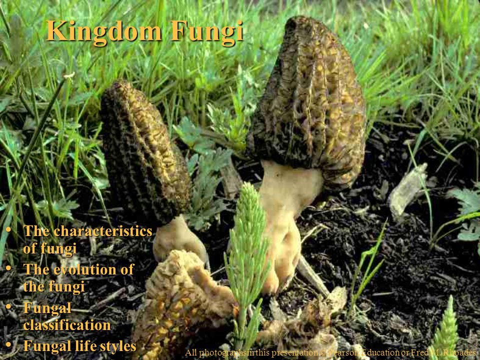 Kingdom Fungi The characteristics of fungi The characteristics of fungi The evolution of the fungi The evolution of the fungi Fungal classification Fungal classification Fungal life styles Fungal life styles All photographsin this presentation © Pearson Education or Fred M.