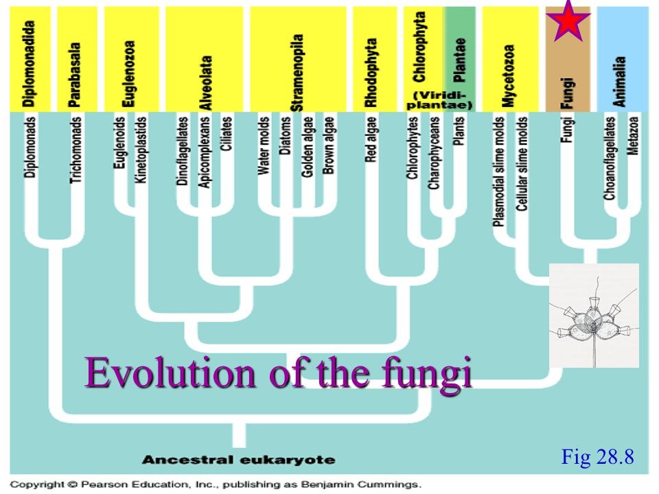 Fig 28.8 Evolution of the fungi