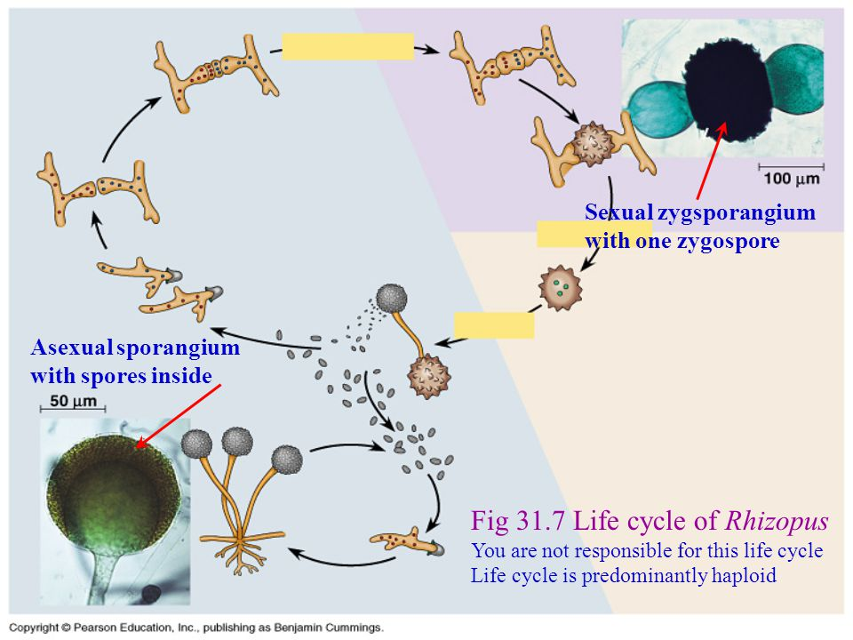 Fig 31.7 Life cycle of Rhizopus You are not responsible for this life cycle Life cycle is predominantly haploid Asexual sporangium with spores inside Sexual zygsporangium with one zygospore