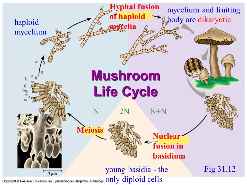 Mushroom Life Cycle Fig 31.12 Nuclear fusion in basidium Meiosis Hyphal fusion of haploid mycelia haploid mycelium young basidia - the only diploid ce