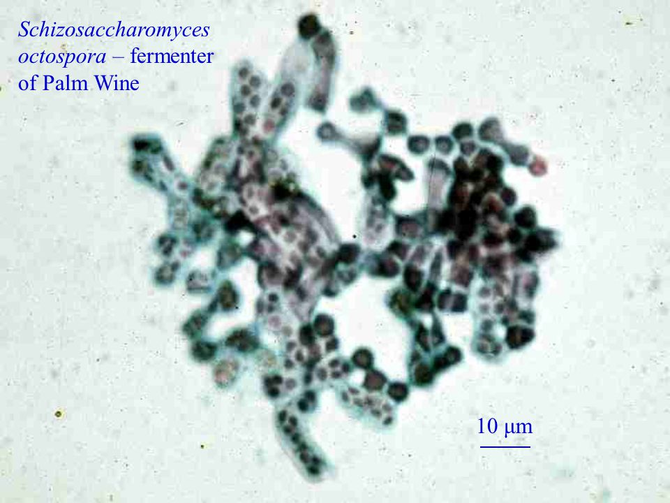 Schizosaccharomyces octospora – fermenter of Palm Wine 10 μm