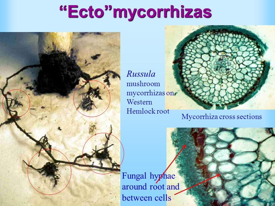 Ecto mycorrhizas Russula mushroom mycorrhizas on Western Hemlock root Fungal hyphae around root and between cells Mycorrhiza cross sections