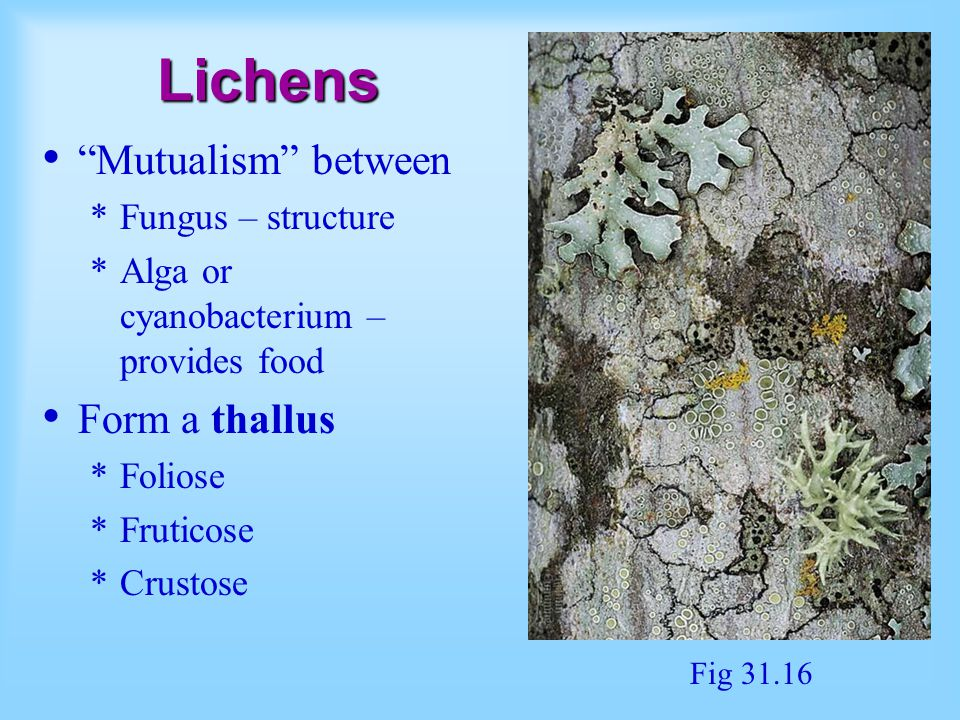 Lichens Mutualism between *Fungus – structure *Alga or cyanobacterium – provides food Form a thallus *Foliose *Fruticose *Crustose Fig 31.16
