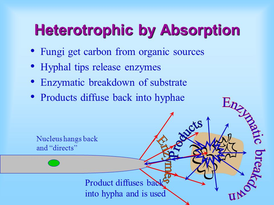 Heterotrophic by Absorption Fungi get carbon from organic sources Hyphal tips release enzymes Enzymatic breakdown of substrate Products diffuse back into hyphae Product diffuses back into hypha and is used Nucleus hangs back and directs