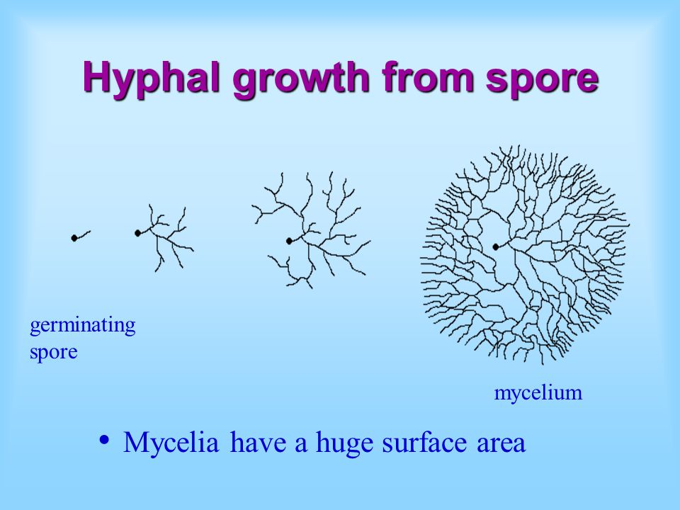 Hyphal growth from spore mycelium germinating spore Mycelia have a huge surface area