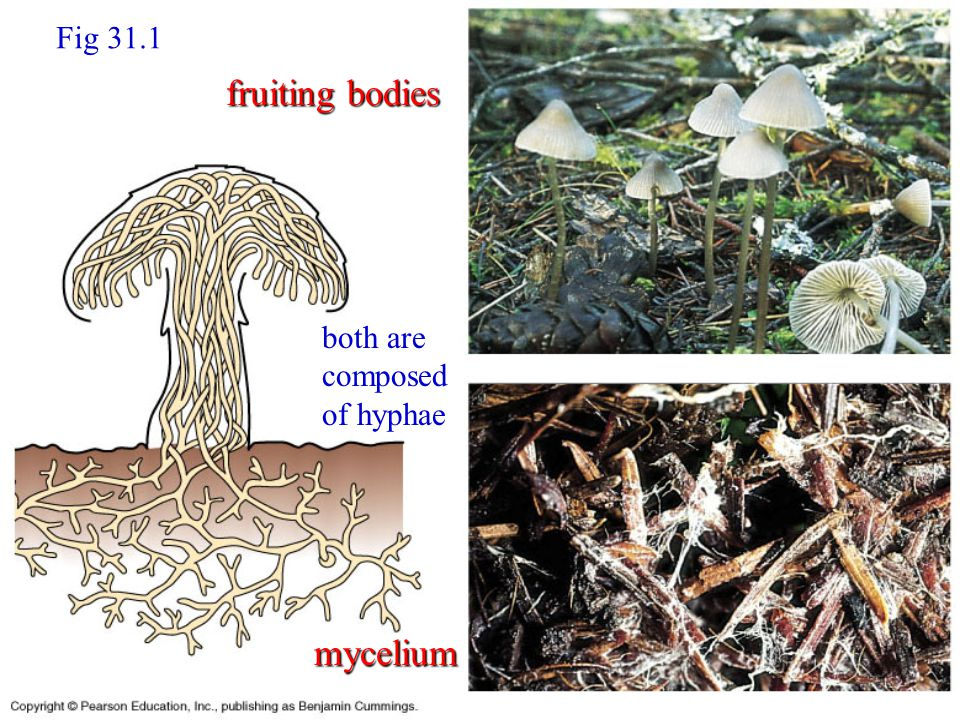 Fig 31.1 mycelium fruiting bodies both are composed of hyphae