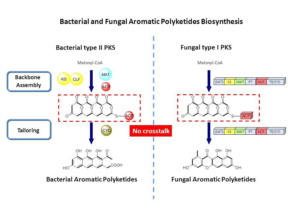 Fungal type I PKS Malonyl-CoA (SAT)KSMATPTACPTE/CYC(SAT)KSMATPTACPTE/CYC Backbone Assembly Tailoring No crosstalk Bacterial type II PKS Malonyl-CoA Ba