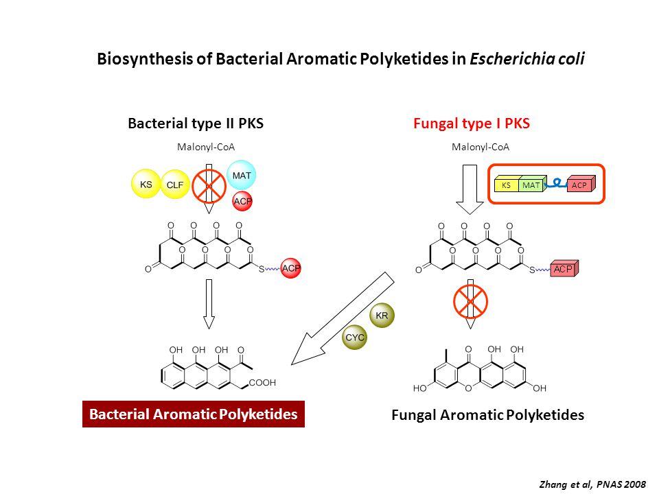 Bacterial type II PKSFungal type I PKS Malonyl-CoA Bacterial Aromatic Polyketides Fungal Aromatic Polyketides Biosynthesis of Bacterial Aromatic Polyketides in Escherichia coli KSMATACP Zhang et al, PNAS 2008