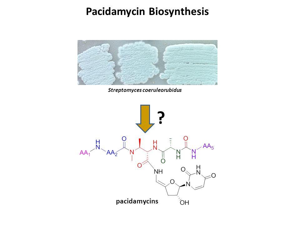 Pacidamycin Biosynthesis ? Streptomyces coeruleorubidus pacidamycins