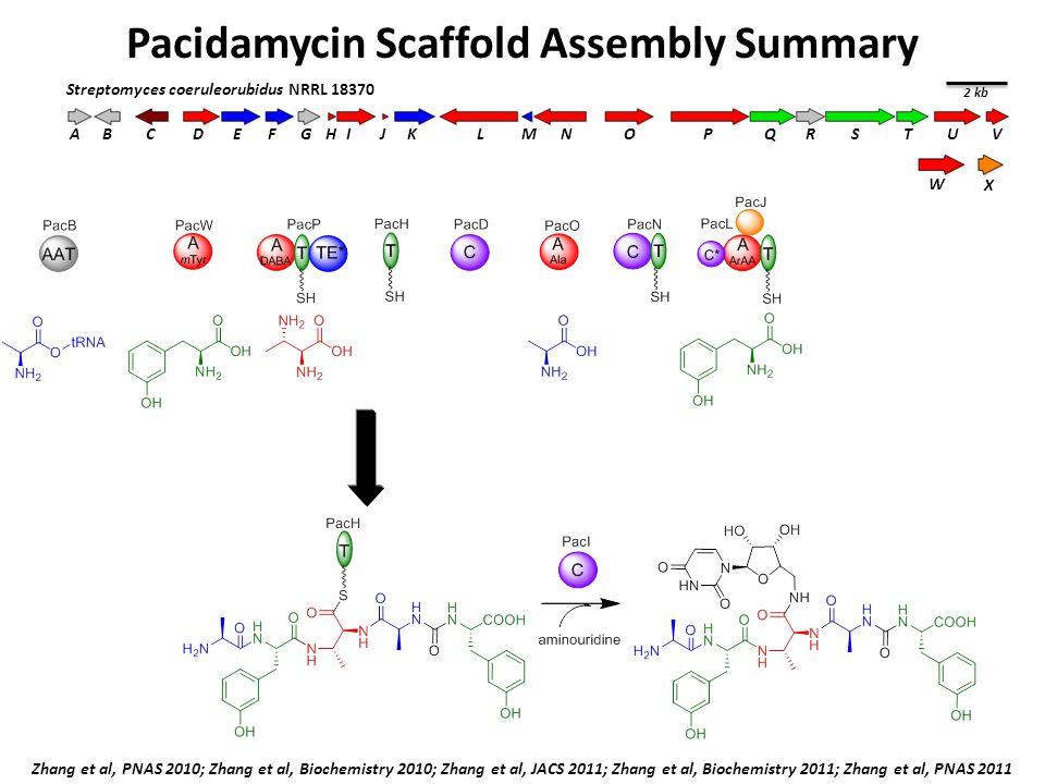 Pacidamycin Scaffold Assembly Summary BCDEFGIJKLMNOPQRSTUVA H 2 kb Streptomyces coeruleorubidus NRRL 18370 W X Zhang et al, PNAS 2010; Zhang et al, Biochemistry 2010; Zhang et al, JACS 2011; Zhang et al, Biochemistry 2011; Zhang et al, PNAS 2011