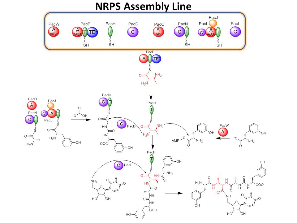 NRPS Assembly Line
