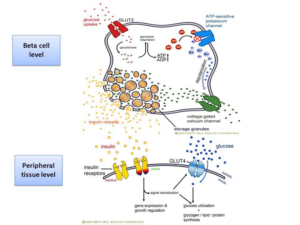 Beta cell level Peripheral tissue level