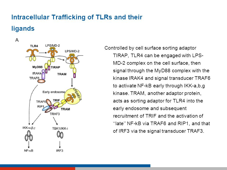 Intracellular Trafficking of TLRs and their ligands Controlled by cell surface sorting adaptor TIRAP, TLR4 can be engaged with LPS- MD-2 complex on th
