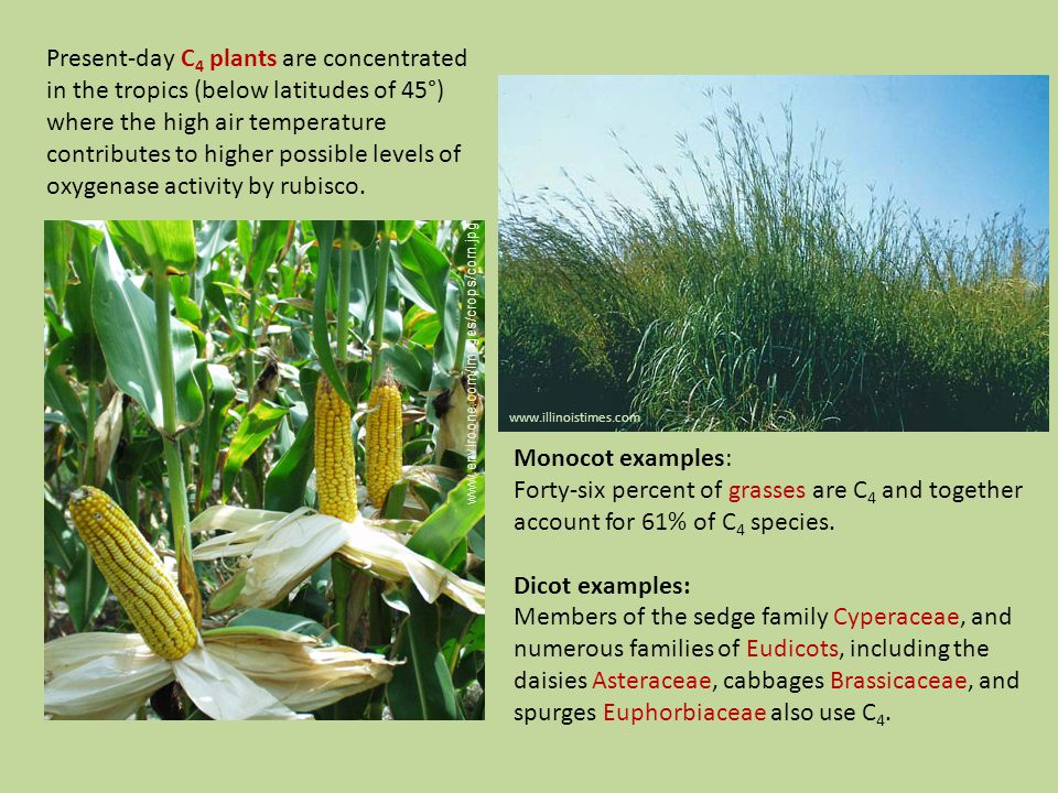 www.illinoistimes.com www.enviroone.com/images/crops/corn.jpg Present-day C 4 plants are concentrated in the tropics (below latitudes of 45°) where the high air temperature contributes to higher possible levels of oxygenase activity by rubisco.