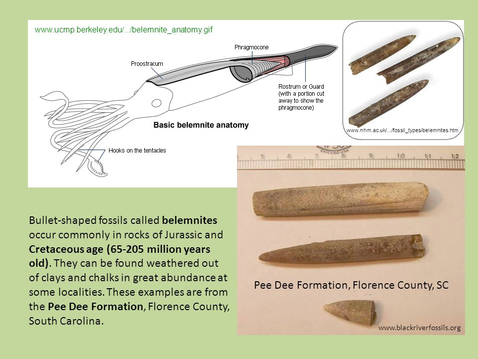 Bullet-shaped fossils called belemnites occur commonly in rocks of Jurassic and Cretaceous age (65-205 million years old).
