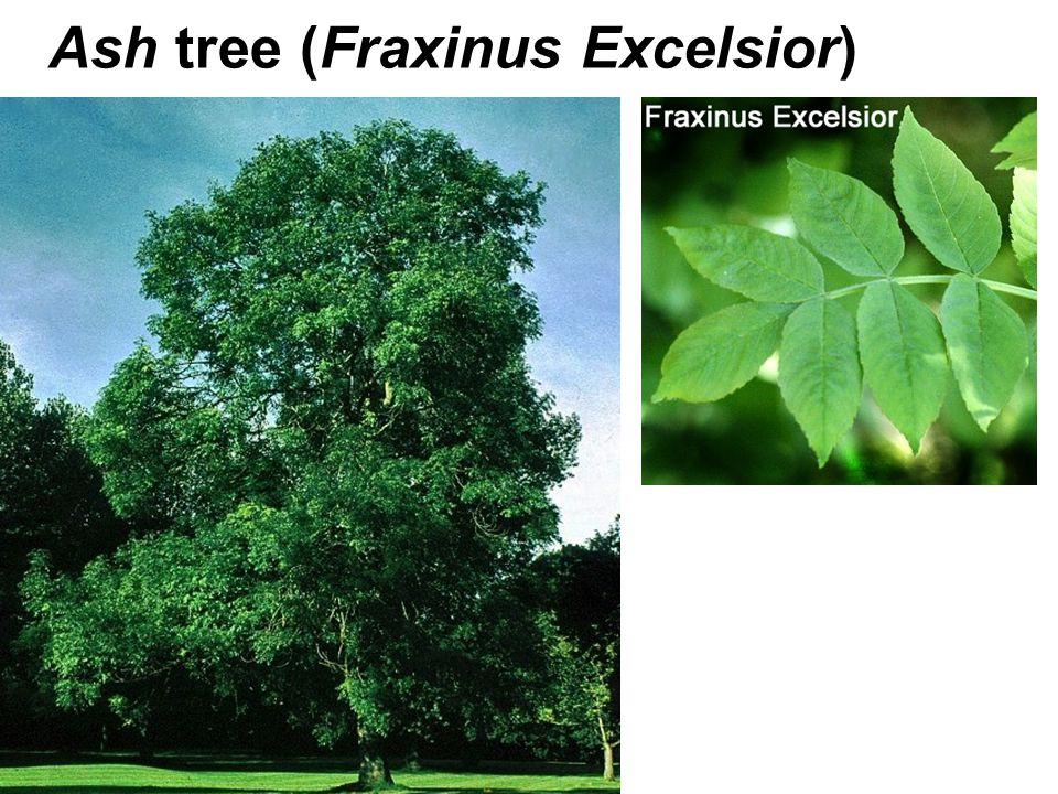 Ash tree (Fraxinus Excelsior)