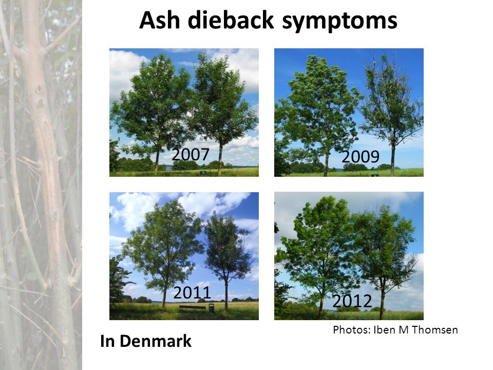 Ash dieback symptoms 2007 2009 2011 2012 Photos: Iben M Thomsen In Denmark
