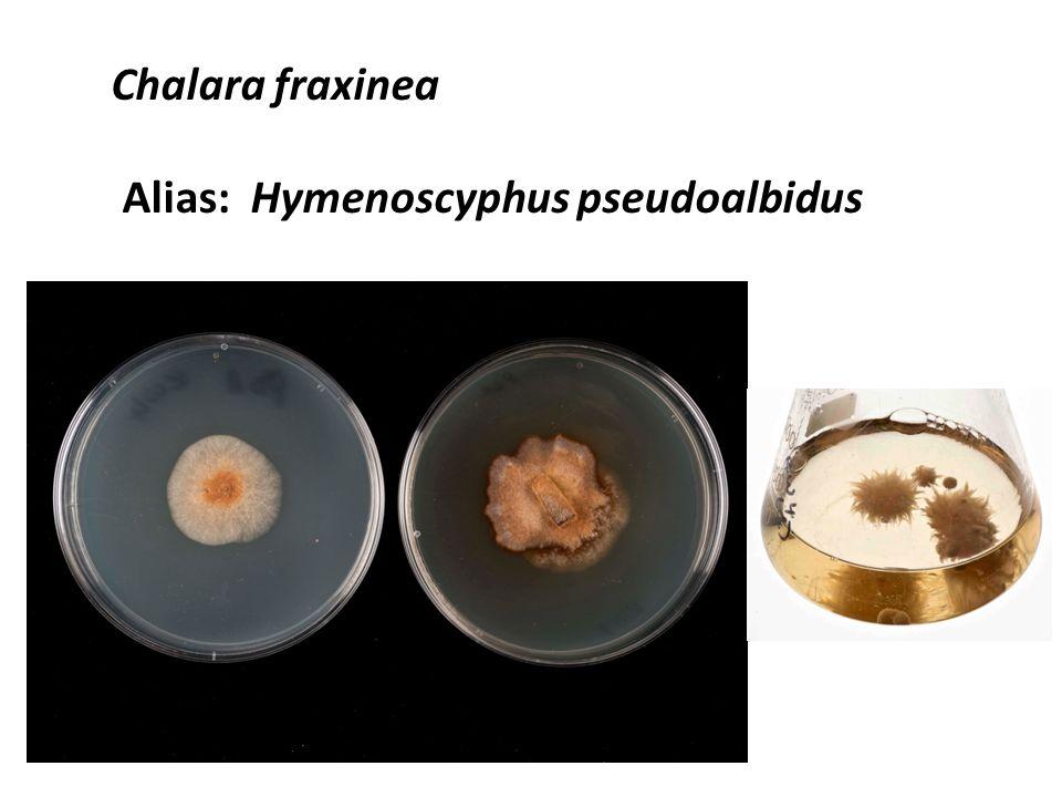 Chalara fraxinea Alias: Hymenoscyphus pseudoalbidus