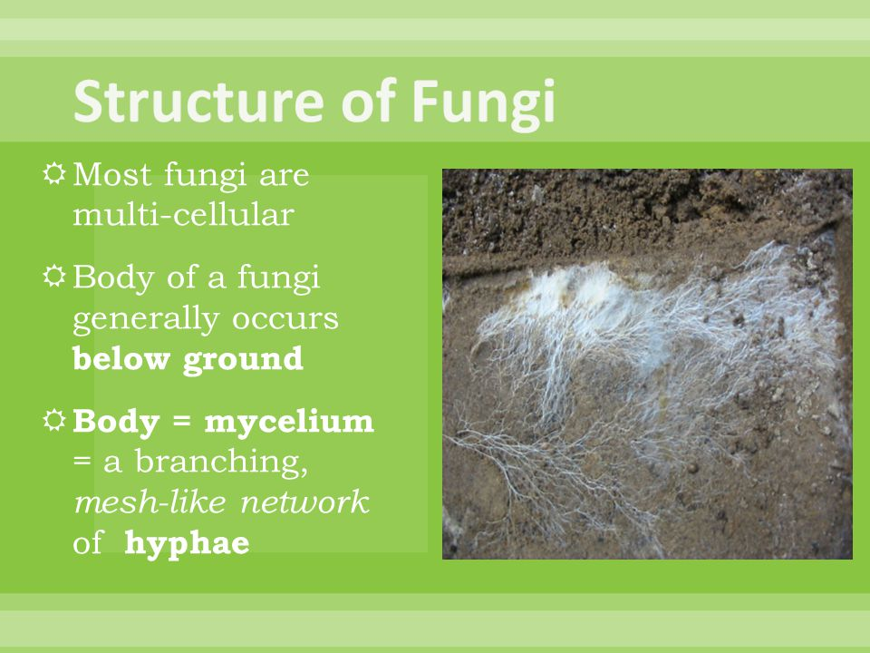 Fungi  Cause animal and plant disease (e.g.
