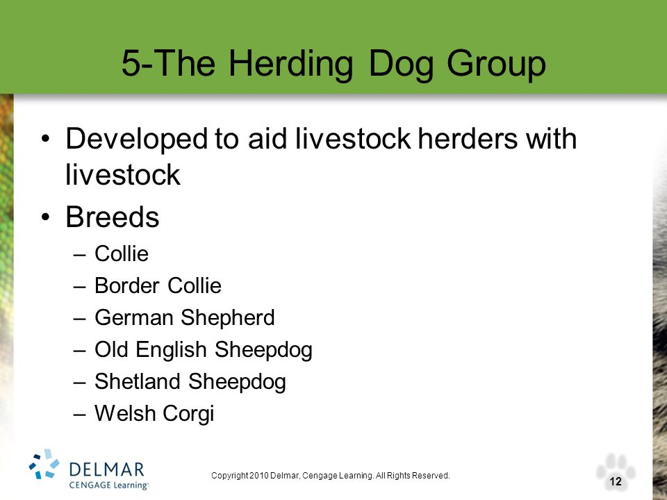 12 Copyright 2010 Delmar, Cengage Learning. All Rights Reserved. 5-The Herding Dog Group Developed to aid livestock herders with livestock Breeds –Col