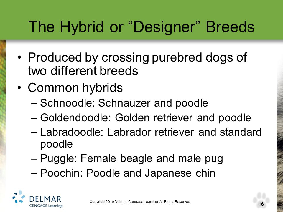 "16 Copyright 2010 Delmar, Cengage Learning. All Rights Reserved. The Hybrid or ""Designer"" Breeds Produced by crossing purebred dogs of two different b"