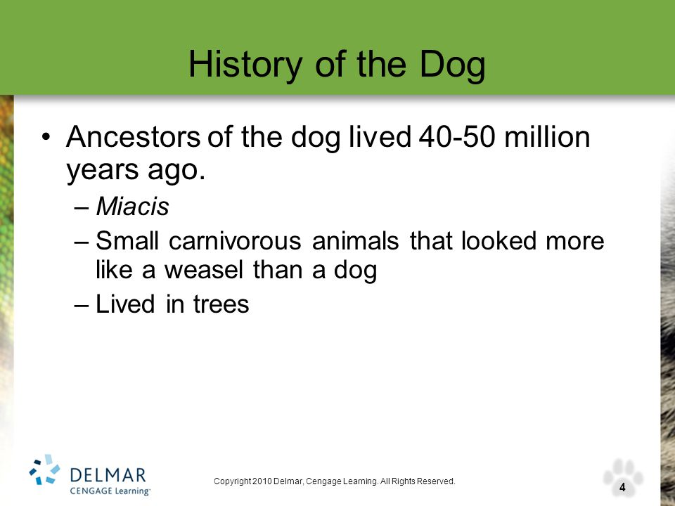 4 Copyright 2010 Delmar, Cengage Learning. All Rights Reserved. History of the Dog Ancestors of the dog lived 40-50 million years ago. –Miacis –Small