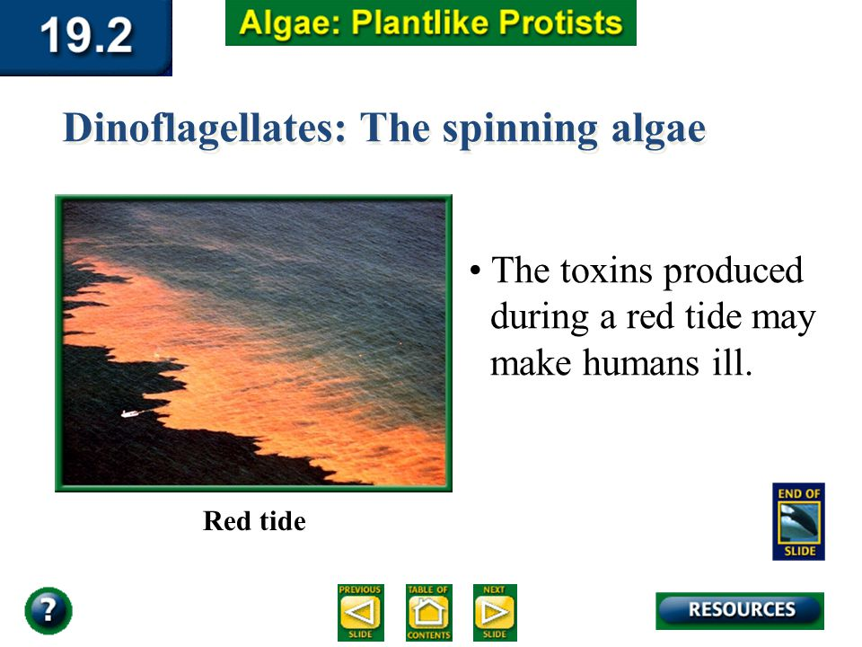 Section 19.2 Summary – pages 510-516 Dinoflagellates: The spinning algae The toxins produced during a red tide may make humans ill. Red tide