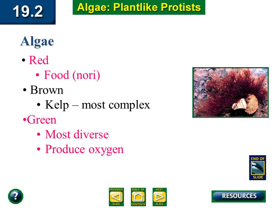 Section 19.2 Summary – pages 510-516 Algae Red Food (nori) Brown Kelp – most complex Green Most diverse Produce oxygen