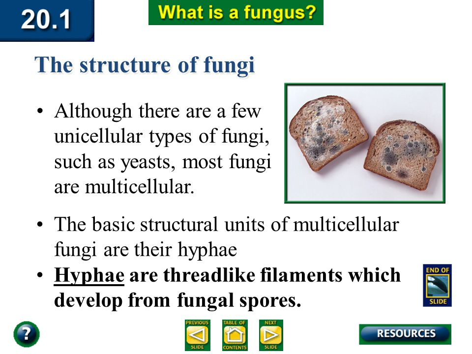 Section 20.1 Summary – pages 529-534 Although there are a few unicellular types of fungi, such as yeasts, most fungi are multicellular. The structure