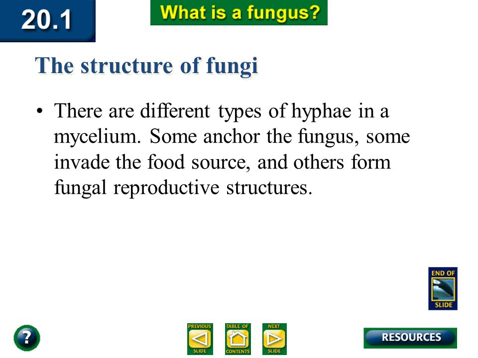 Section 20.1 Summary – pages 529-534 There are different types of hyphae in a mycelium. Some anchor the fungus, some invade the food source, and other