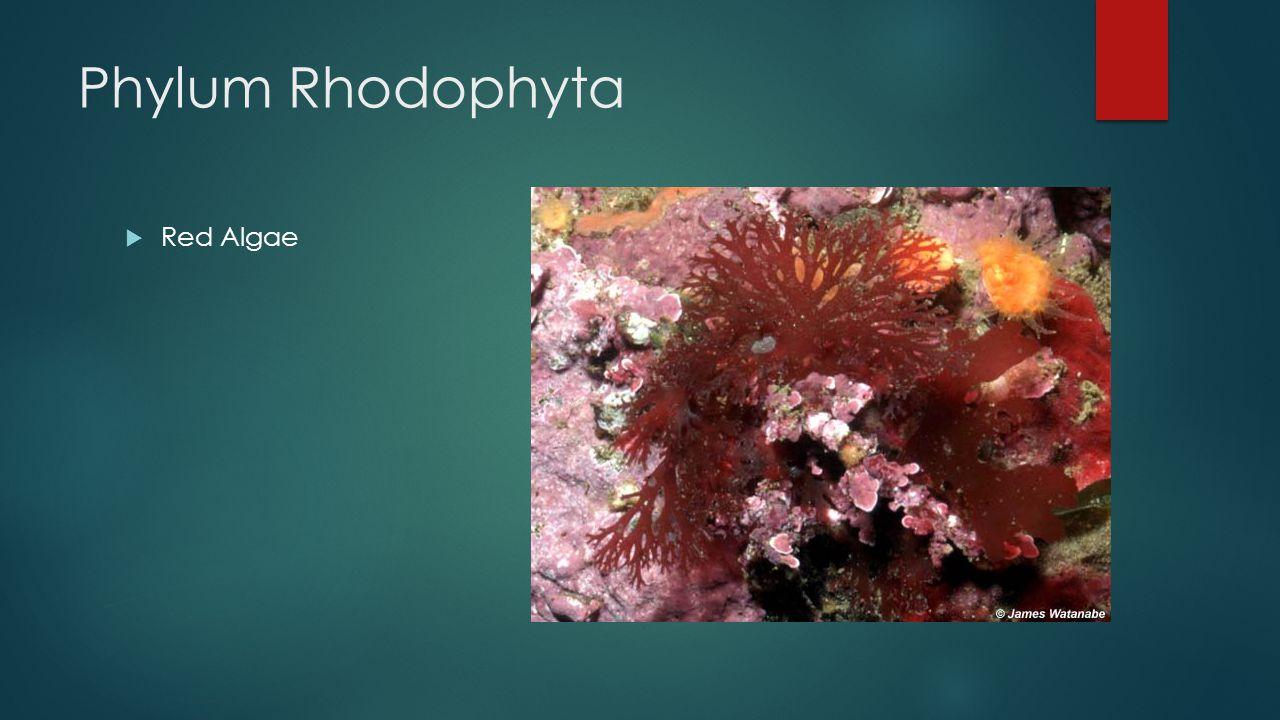 Phylum Rhodophyta  Red Algae