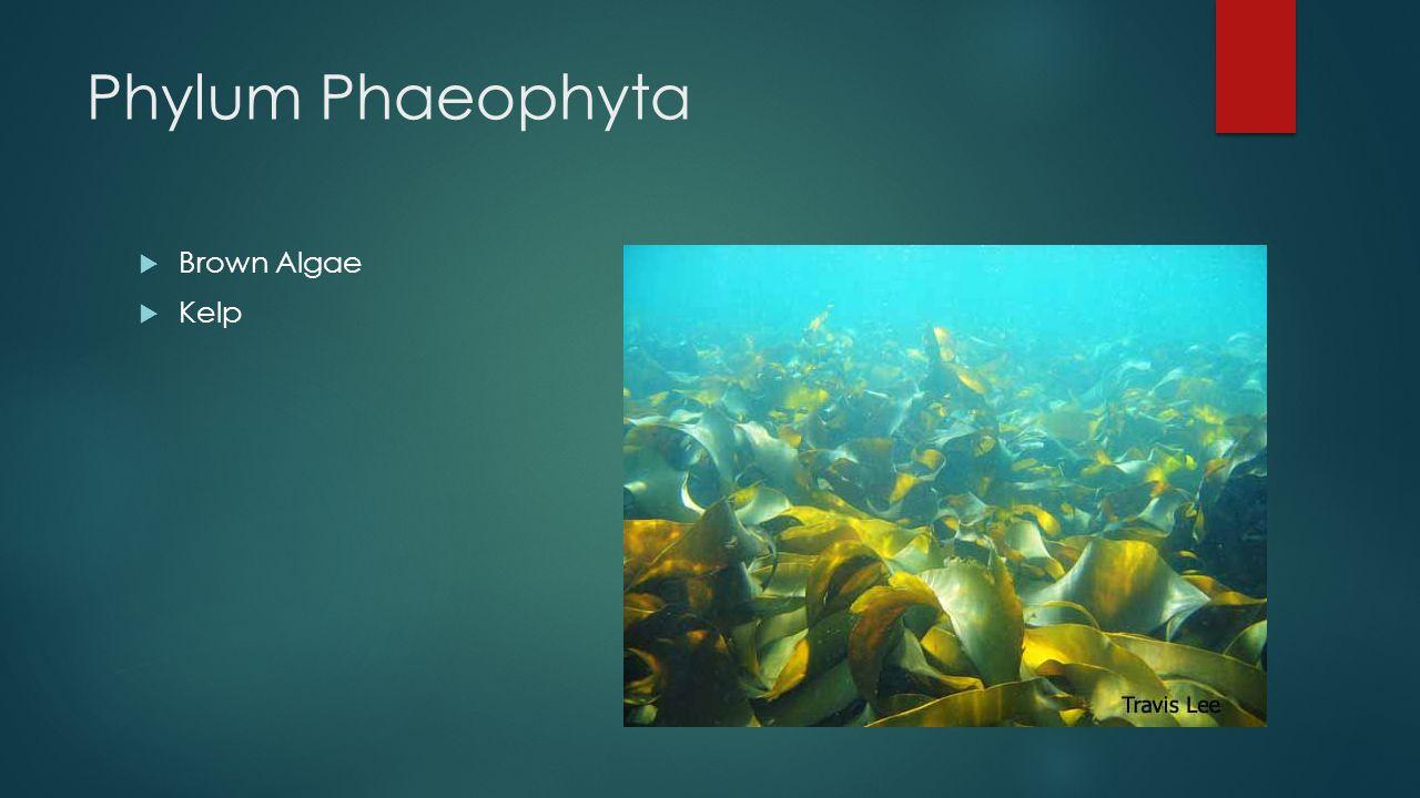 Phylum Phaeophyta  Brown Algae  Kelp