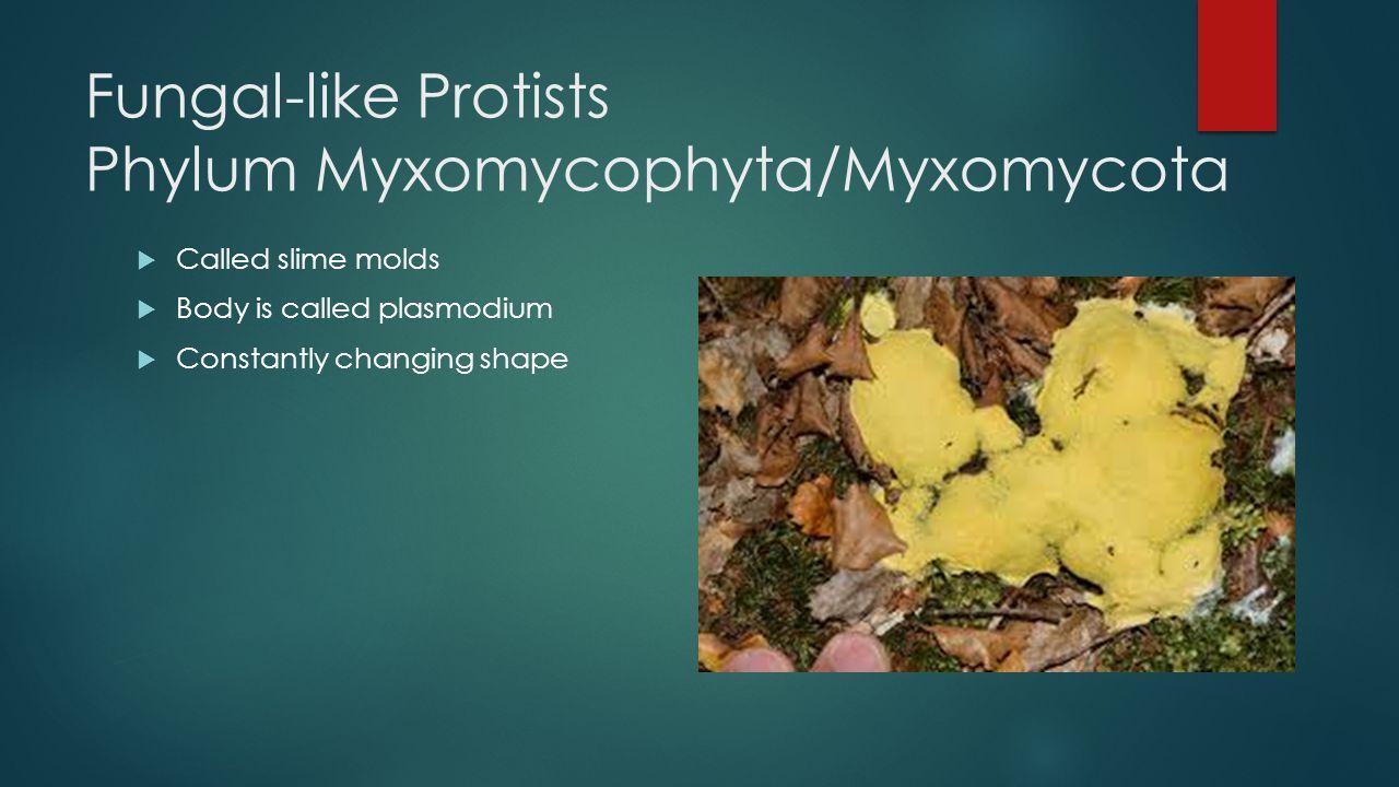 Fungal-like Protists Phylum Myxomycophyta/Myxomycota  Called slime molds  Body is called plasmodium  Constantly changing shape