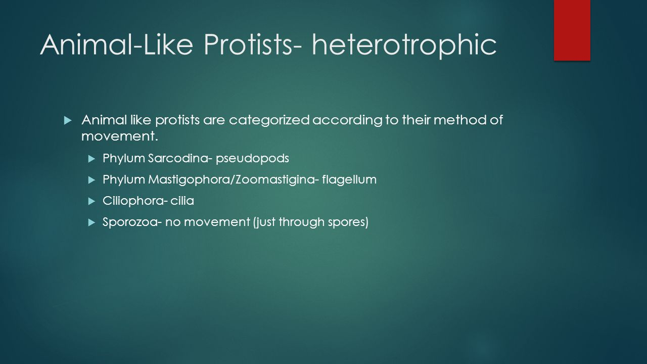 Animal-Like Protists- heterotrophic  Animal like protists are categorized according to their method of movement.