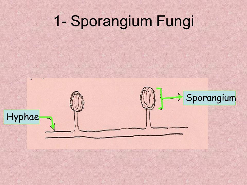 1- Sporangium Fungi Hyphae Sporangium