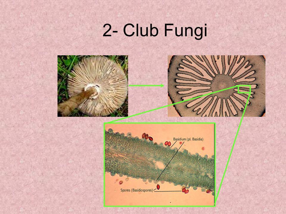 2- Club Fungi