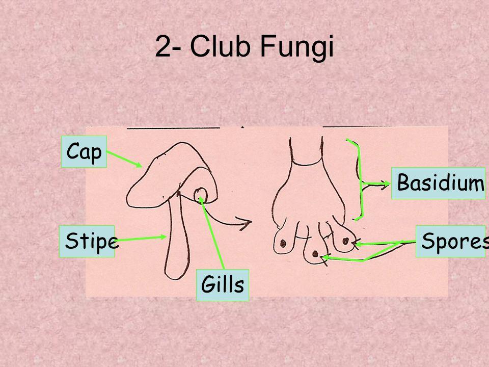 Basidium Spores Cap Stipe Gills