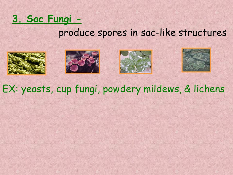 3. Sac Fungi - produce spores in sac-like structures EX: yeasts, cup fungi, powdery mildews, & lichens