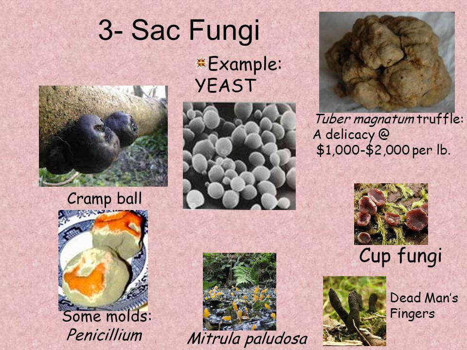 3- Sac Fungi Tuber magnatum truffle: A delicacy @ $1,000-$2,000 per lb. Mitrula paludosa Cup fungi Cramp ball Example: YEAST Dead Man's Fingers Some m