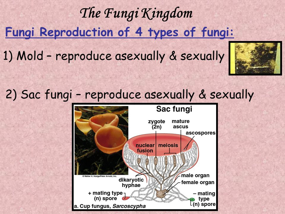 The Fungi Kingdom Fungi Reproduction of 4 types of fungi: 1) Mold – reproduce asexually & sexually 2) Sac fungi – reproduce asexually & sexually