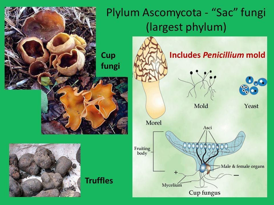 Plylum Ascomycota - Sac fungi (largest phylum) Truffles Includes Penicillium mold Cup fungi