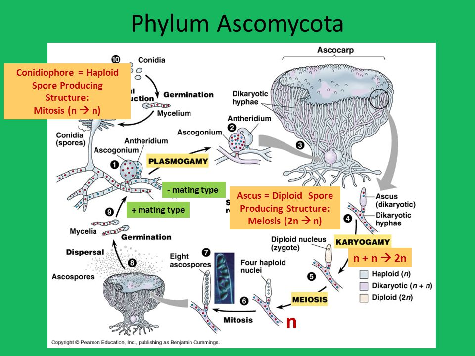 Phylum Ascomycota Ascus = Diploid Spore Producing Structure: Meiosis (2n  n) Conidiophore = Haploid Spore Producing Structure: Mitosis (n  n) n n + n  2n + mating type - mating type