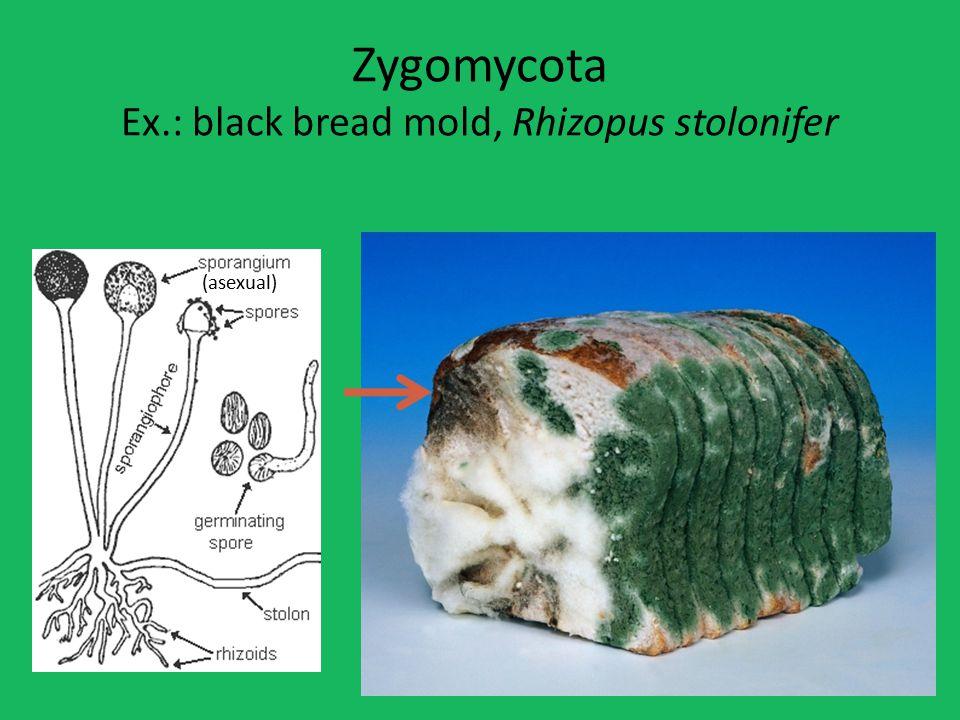 Zygomycota Ex.: black bread mold, Rhizopus stolonifer (asexual)
