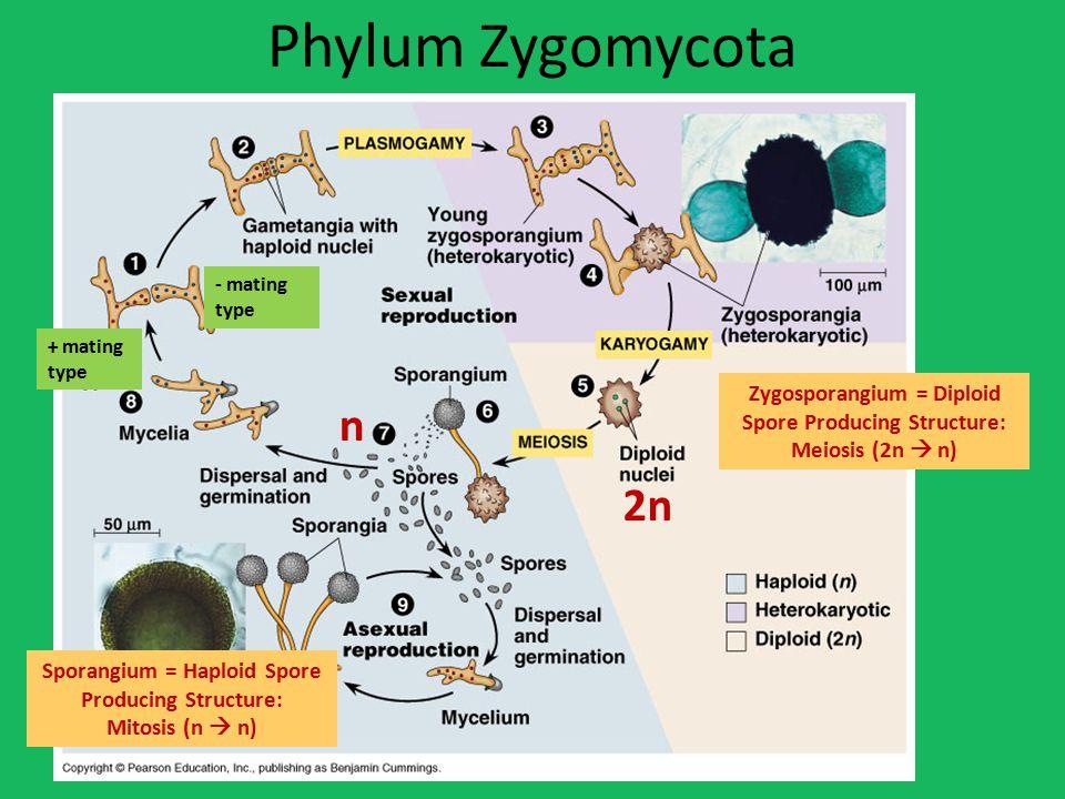 Phylum Zygomycota Zygosporangium = Diploid Spore Producing Structure: Meiosis (2n  n) Sporangium = Haploid Spore Producing Structure: Mitosis (n  n) 2n n + mating type - mating type