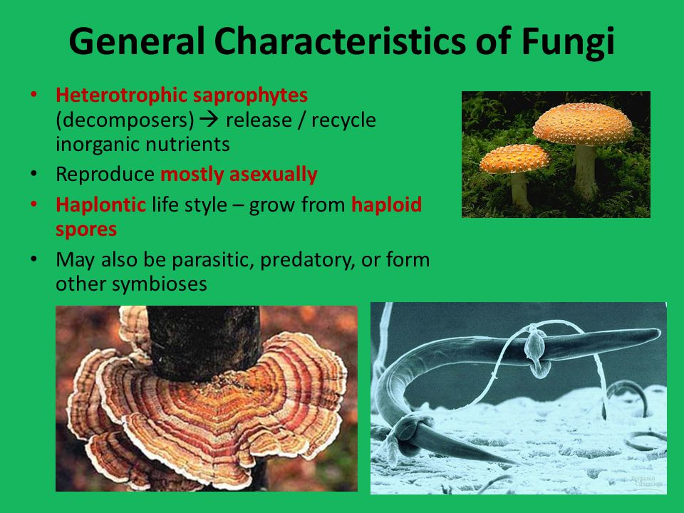 General Characteristics of Fungi Heterotrophic saprophytes (decomposers)  release / recycle inorganic nutrients Reproduce mostly asexually Haplontic life style – grow from haploid spores May also be parasitic, predatory, or form other symbioses
